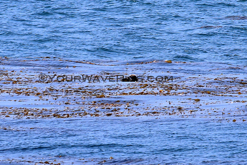 2016-06-02_Rockpiles_Sea Otter_0857 ED.JPG