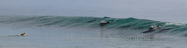 2014 Rincon Classic surf contest with dolphins at women's final event