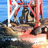 2016-02-09_Sea Lions on Buoy_0173.JPG