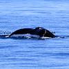 2016-02-16_Humpback Whale_4305.JPG