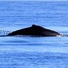 2016-02-16_Humpback Whale_4288.JPG