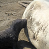 2021-01-16_Piedras Blancas_Elephant Seals_Nursing Baby_11.JPG<br /> Elephant Seal breeding grounds at Piedras Blancas.  Pups nurse for about a month on the beach.