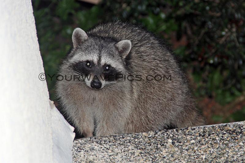 2015-02-05_Raccoon on roof_9041.JPG