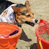 2015-04-11_Corgi Beach Day_05.JPG