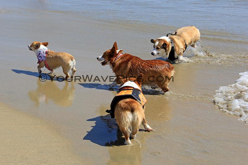 2015-04-11_Corgi Beach Day_27.JPG