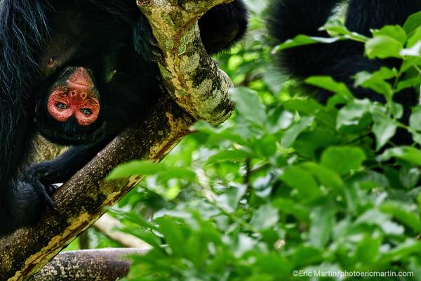 SURINAME. Singe Araignée du Suriname photographié au zoo de Paramaribo.
