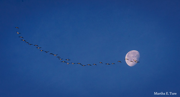 Geese flying before the moon
