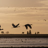 Sandhill Cranes At Dawn, California Delta