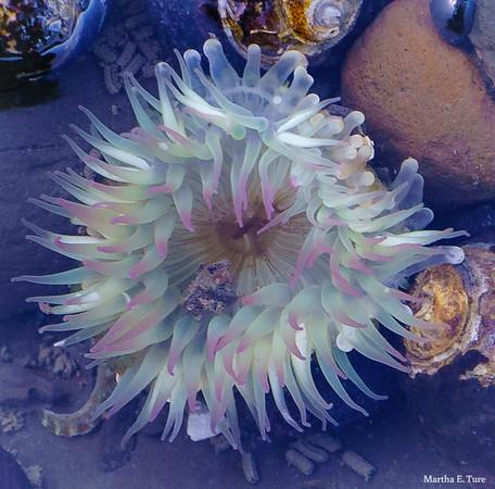 Sea Anemone, Duxbury Reef, Tide Pool