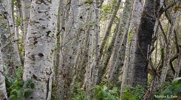 Alders at Olema Creek