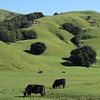 Black Angus, San Geronimo Valley