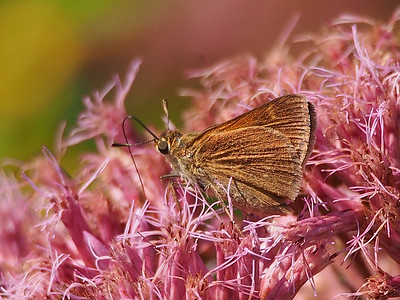 Tawny-edged Skipper ?