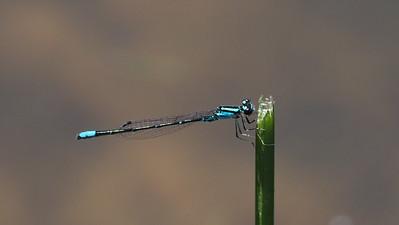 Skimming Bluet, male