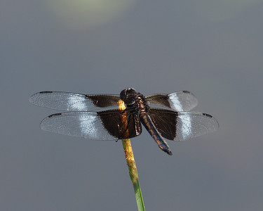 Widow Skimmer, young male