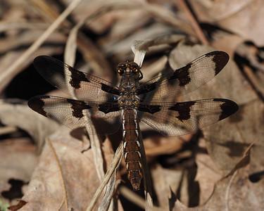 Common Baskettail, female