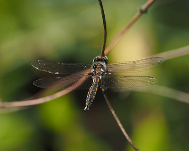 Common Baskettail, male