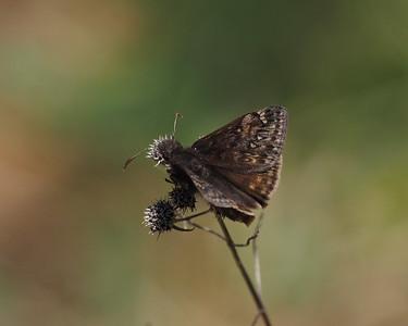 Juvenal's Duskywing, male
