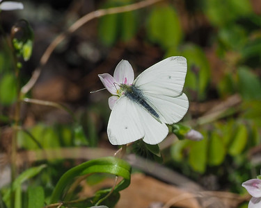 Cabbage White, male