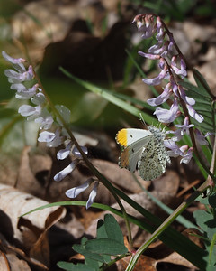 Falcate Orangetip on Wood Vetch