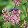 Great Black Wasp (Sphex pensylvanicus)