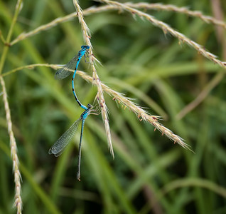 Big Bluet Damselflies (male and female in tandem)