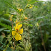 Partridge-pea  (Cassia fasciculata) (view 2 of 2)