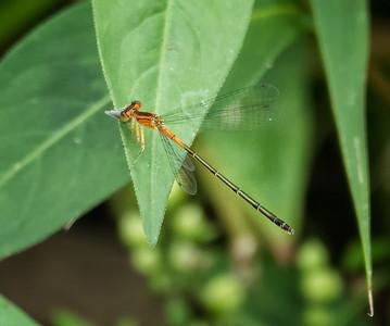 Rambur's Forktail  Damselfly (immature heteromorph female)