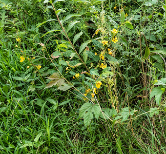 Partridge-pea  (Cassia fasciculata) (view 1 of 2)