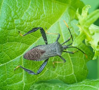 Leaf-footed Bug (Acanthocephala sp.)