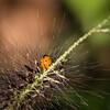 Seven-spotted Lady Beetle (Coleomegilla maculata)