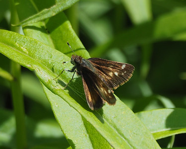 Hobomok Skipper, female
