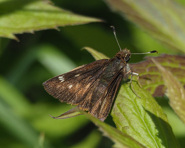 Crossline Skipper, female ?
