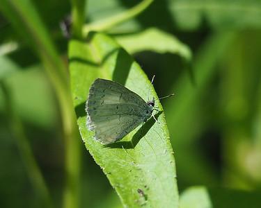 Azure species