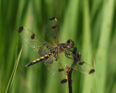 Calico Pennant, female
