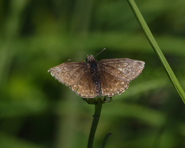 Duskywing species