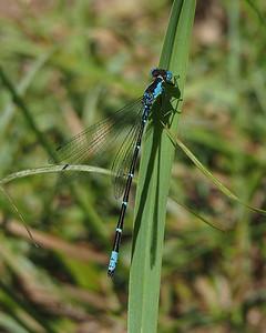 Aurora Damsel, male