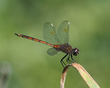 Four Spotted Pennant, female