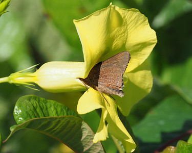 Monk Skipper