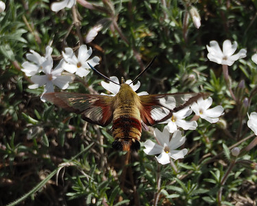 Snowberry Clearwing (had black legs)
