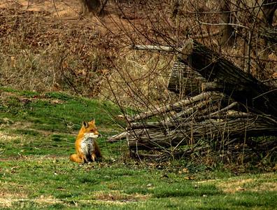 Red Fox 1d