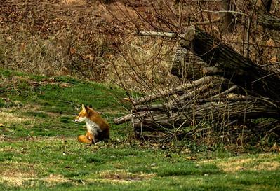 Red Fox 1e
