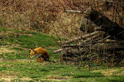 Red Fox 1f