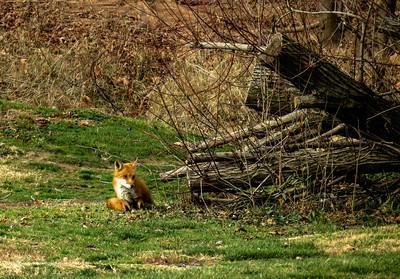 Red Fox 1c