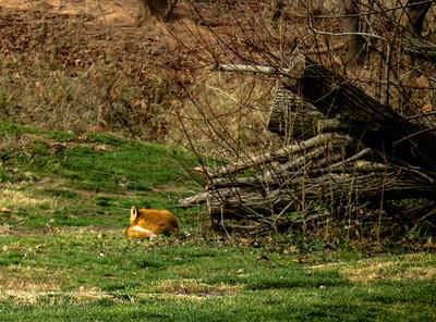 Red Fox 1a