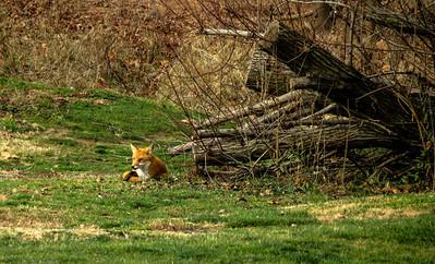 Red Fox 1b