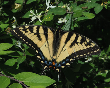 Tiger Swallowtail, female