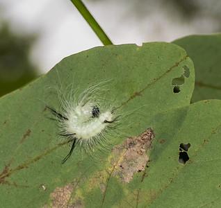 American Dagger Moth (Acronicta americana) Caterpillar, Jones Nature Preserve, Rappahannock County, VA