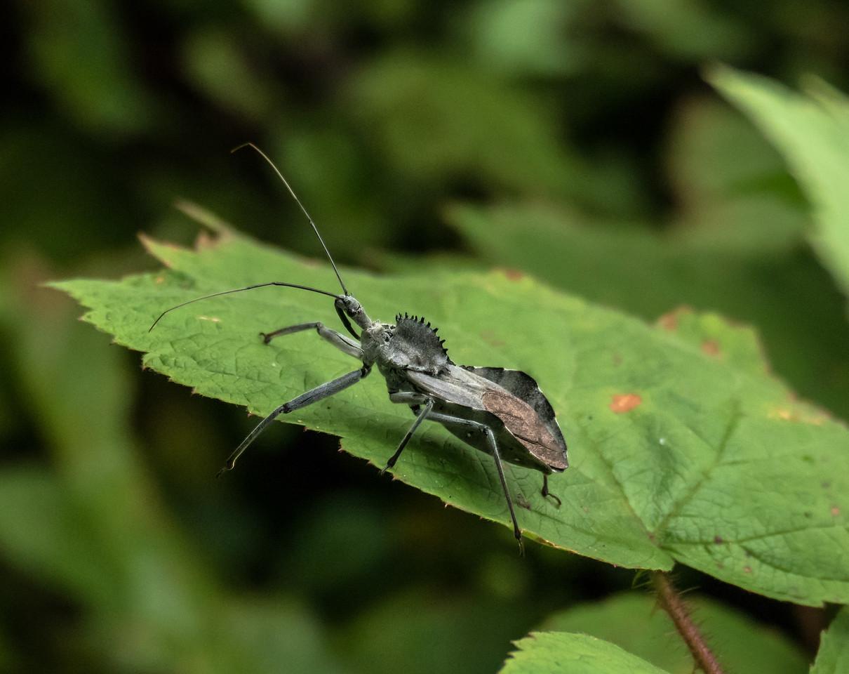 Wheel Bug, Jones Nature Preserve, Rappahannock County, VA
