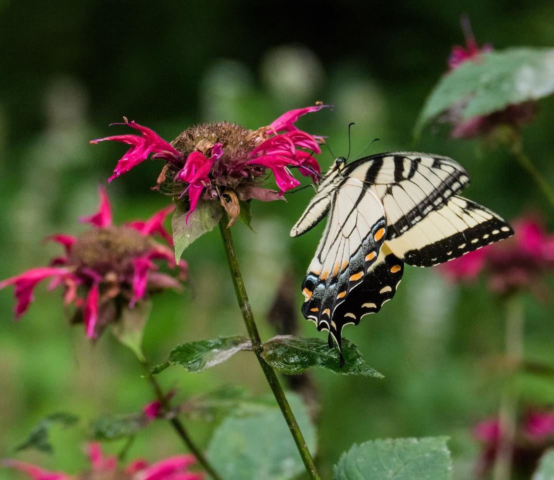 Eastern Tiger Swallowtail, Jones Nature Preserve, Rappahannock County, VA