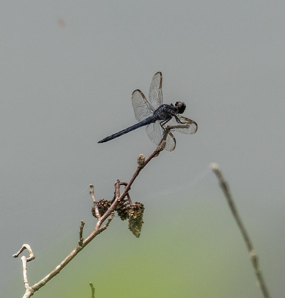 Slaty Skimmer Dragonfly (male), Jones Nature Preserve, Rappahannock County, VA